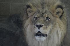 Close up of a male lion. A close up of a male lion Stock Photography