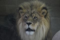 Close up of a male lion. A close up of a male lion Royalty Free Stock Photography