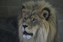 Close up of a male lion. A close up of a male lion Stock Image