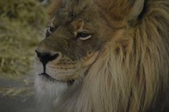 Close up of a male lion. A close up of a male lion Royalty Free Stock Images