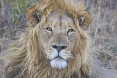 Close up of a male Lion royalty free stock photo