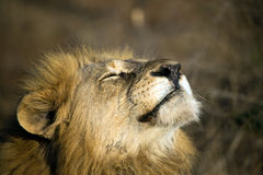 Close up of a male lion facing setting sun. Close up of male lion facing setting sun Royalty Free Stock Photo