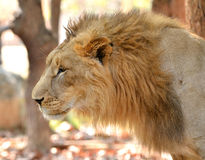 Close up of male lion head Royalty Free Stock Photography