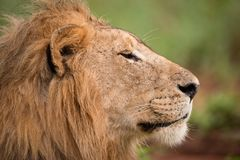 Close-up of male lion head in profile Royalty Free Stock Image