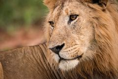 Close-up of male lion looking over shoulder Royalty Free Stock Photography