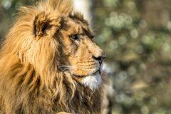 Close-up of male lion lying on a branch. Of a tree Stock Photo