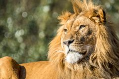 Close-up of male lion lying on a branch. Of a tree Royalty Free Stock Images