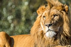 Close-up of male lion lying on a branch. Of a tree Stock Images