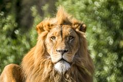 Close-up of male lion lying on a branch. Of a tree Royalty Free Stock Photo