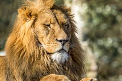 Close-up of male lion lying on a branch. Of a tree Stock Photography