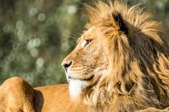 Close-up of male lion lying on a branch. Of a tree Royalty Free Stock Photography