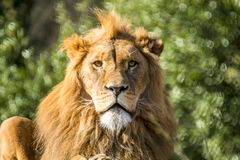 Close-up of male lion lying on a branch. Of a tree Stock Photos