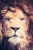Close up of a male lion with manes Stock Image