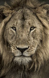 Close-up of a male lion in Serengeti National Park Royalty Free Stock Images