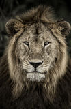 Close-up of a male lion in Serengeti National Park Stock Photography