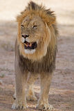 Close-up of Male lion standing in shade royalty free stock images