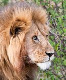Close-up of male lion staring Stock Image