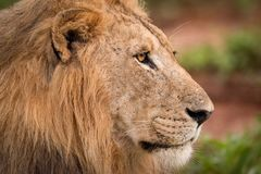 Close-up of male lion staring in profile Royalty Free Stock Image