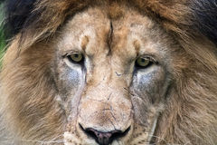 Close-up on the Male Lions (Panthera leo) face Stock Image