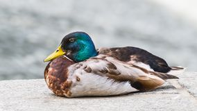 Close-up of male mallard duck in profile. Anas platyrhynchos. Beautiful portrait of one plumed drake sitting on a stone bank of a river. Cute colored water bird Royalty Free Stock Images