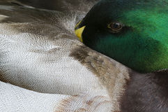 Close up of male Mallard duck. While resting Stock Images