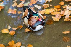 Close up male mandarin duck Aix galericulata on the water Royalty Free Stock Photo
