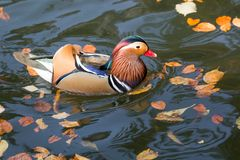Close up male mandarin duck Aix galericulata on the water Stock Photos