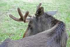 Close up of male moose Royalty Free Stock Photos
