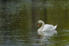 Close-up Male Mute Swan Busking Royalty Free Stock Photography