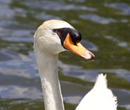 The close-up of the male mute swan in the lake. The close-up of the male mute swan in the water of the lake Stock Images