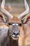 Close up of male nyala head Stock Image