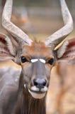 Close up of male nyala head Stock Image