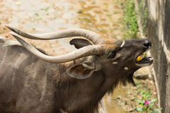 Close up male nyalas eating corn. In the park Stock Image