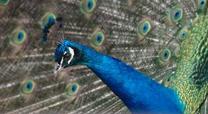 Close up of a Male Peacock displaying for a female looking sideways royalty free stock photo