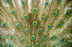 Close up of a male peacock. Displaying its stunning tail feathers Royalty Free Stock Images