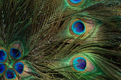 Close up of a male peacock displaying its stunning tail feathers Stock Photo