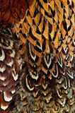 Close up of a male peacock displaying its stunning tail feathers Royalty Free Stock Photo