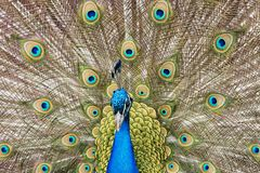 Close up of a male peacock displaying its tail feathers Stock Photography