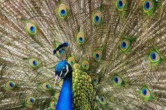 Close up of a male peacock displaying its tail feathers Royalty Free Stock Image