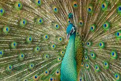 Close up male peacock with fully unfolded feathers of his tail. Male Peacock rattles his plumage during courtship royalty free stock photo