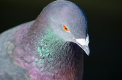 Close-up Male pigeon bird showing its beautiful neck color isolated on black background. royalty free stock image