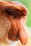 Close up of a male Proboscis Monkey face Royalty Free Stock Photos