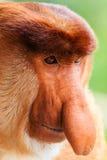 Close up of a male Proboscis Monkey face. Close up of a male Proboscis Monkey in Borneo royalty free stock photos