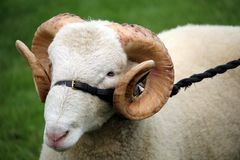 Close up of a male ram sheep with large curly horns on a leather and rope bridle stock photography