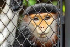 The close up of male red-shanked douc langur face royalty free stock photography