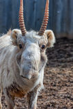 Close-up Male Saiga. In Winter Coloration. Russia Stock Images