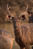 Close-up of male sambar deer with antlers Royalty Free Stock Image