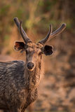 Close-up of male sambar deer from front Royalty Free Stock Images