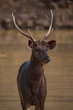Close-up of male sambar deer in shallows Royalty Free Stock Photography