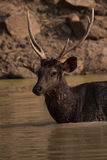 Close-up of male sambar deer in water Royalty Free Stock Photography